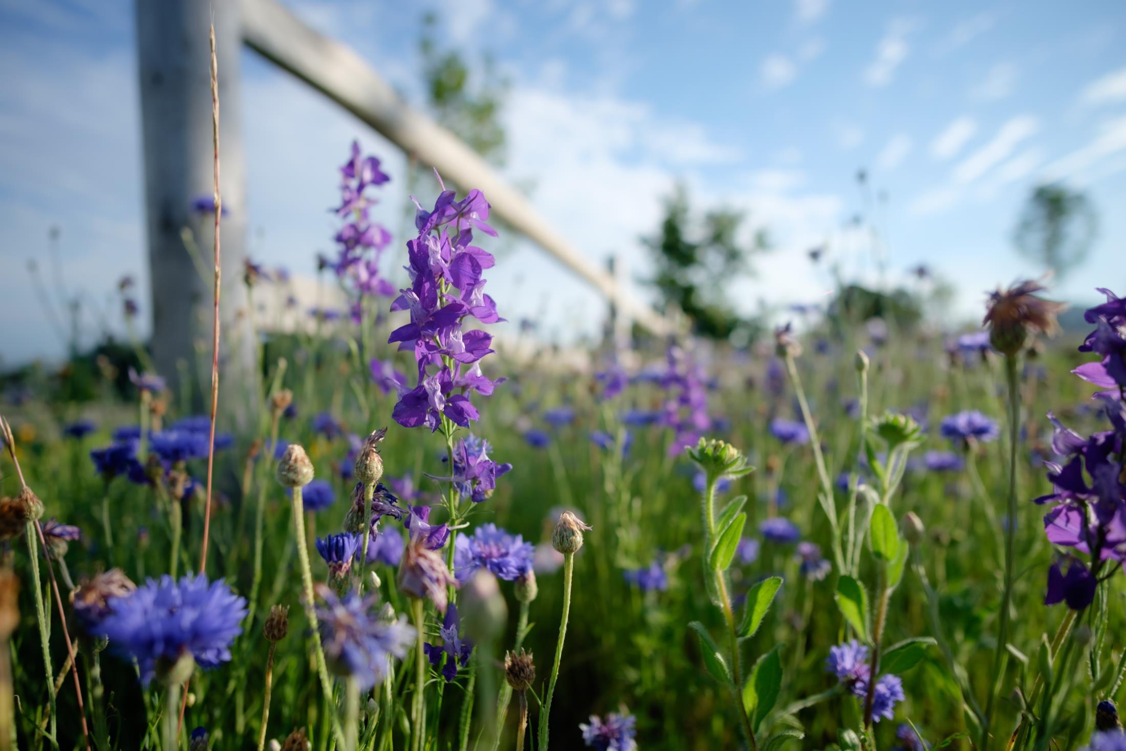 purple larkspur flowers