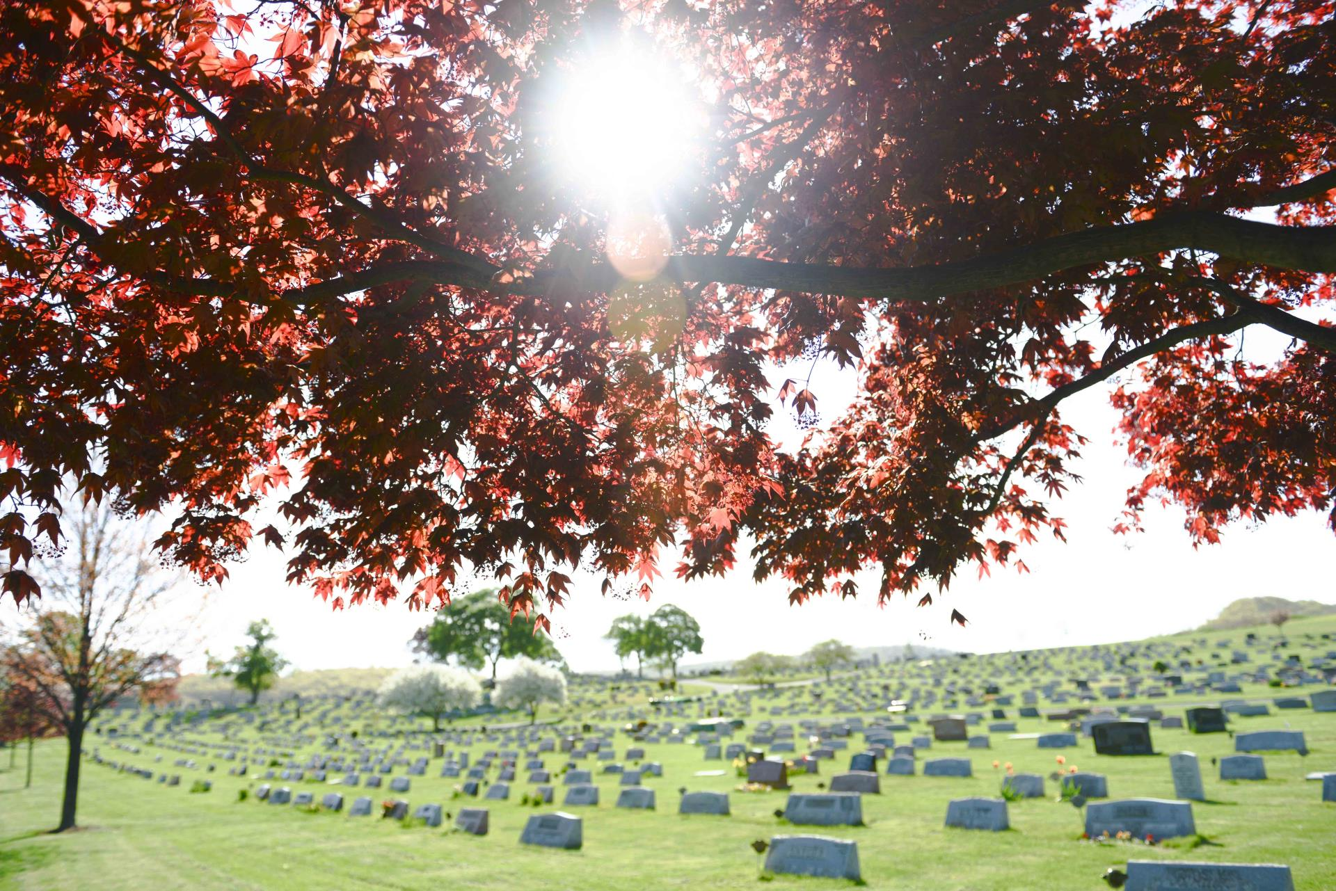 Japanese maple tree in a traditional burial section