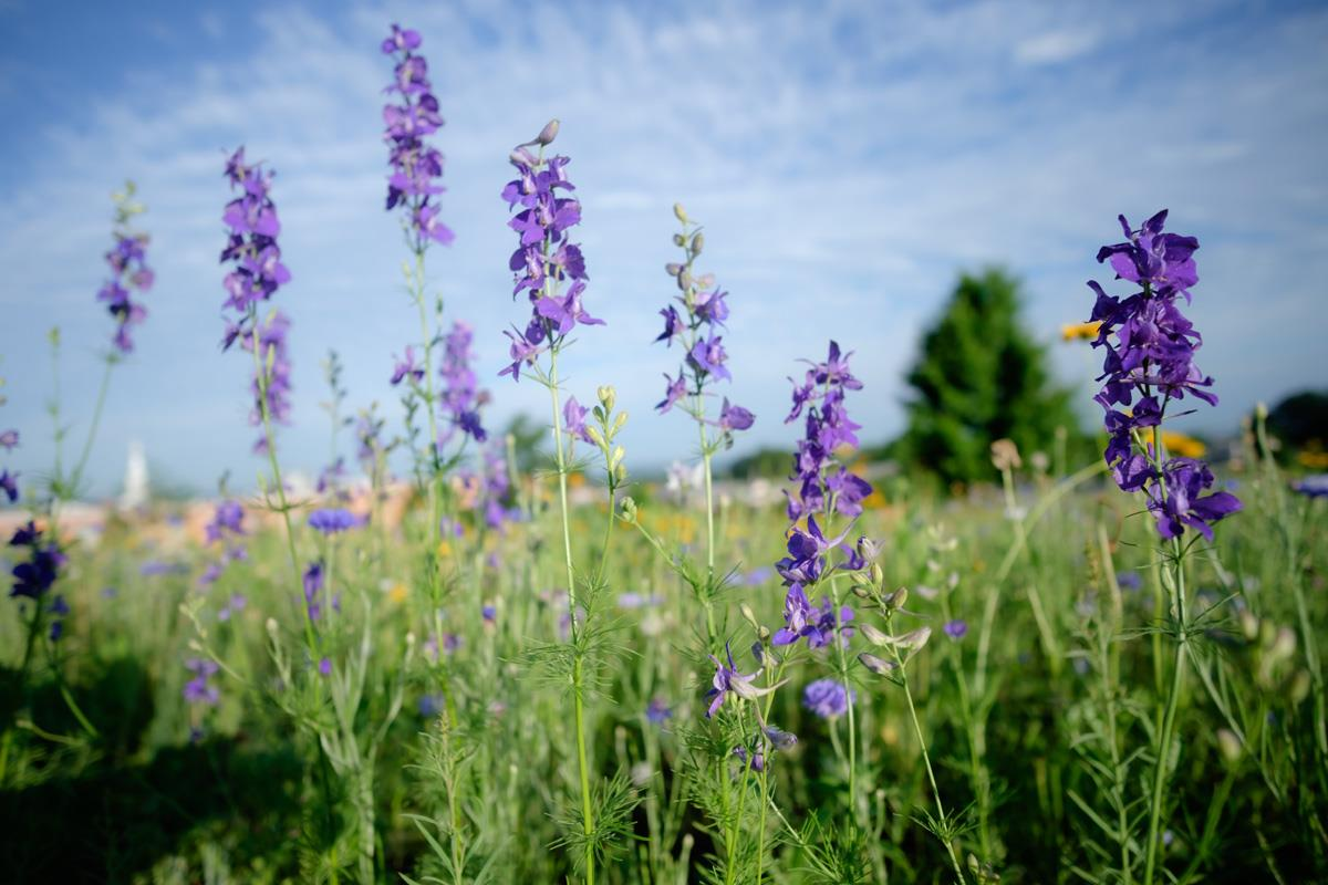 Natural Burial section with blue larkspur flowers