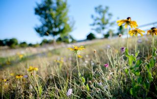 Natural Burial section with Black eyed susans
